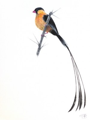 Veuve Shaft-Tailed (1)